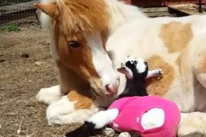 Adopted-Pony-And-Donkey-Love-Their-New-Goats