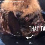 Baby Beaver Gives Himself A Bath