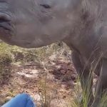 Baby Rhino Can't Stop Kissing His New Friend