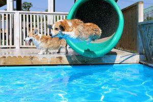Corgi-Pool-Party