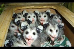 Opossum-A-Cute-And-Funny-Possum-Videos-Compilation-NEW-HD