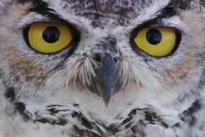 Owl-Stuck-In-Barbed-Wire-Gets-Help-And-Flies-Away