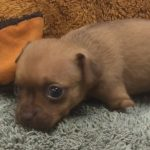 Puppy Born Without Front Legs Is The World's Cutest Wheelchair Dog