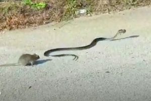 Rat-Mom-Attacks-Snake-Who-Threatens-Her-Baby