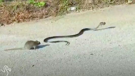 Rat-Mom-Attacks-Snake-Who-Threatens-Her-Baby