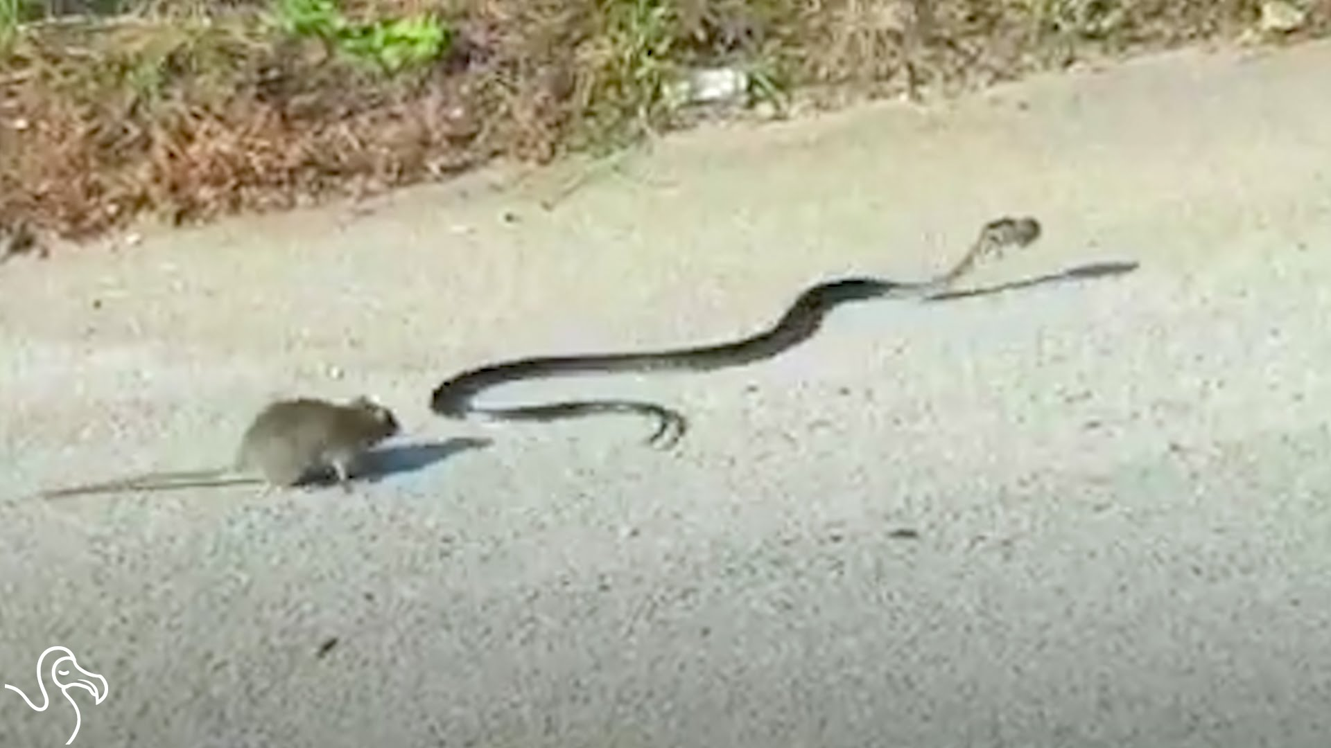 Rat Mom Attacks Snake Who Threatens Her Baby – 1Funny.com