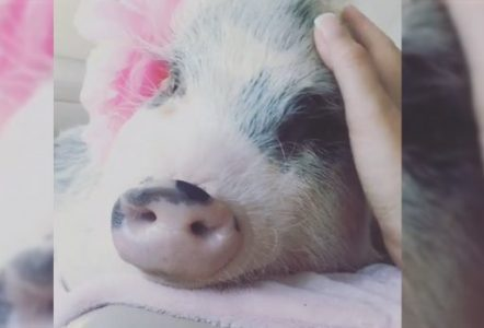 Therapy-Pig-Is-Completely-Spoiled