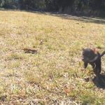 Baby Tasmanian Devil Will Chase You DOWN