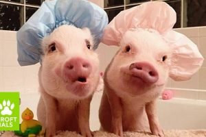 Cute-Instagram-Pigs-Are-Hogging-The-Limelight-BEAST-BUDDIES