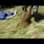 Man Pulls Sheep Right Out Of The Ground
