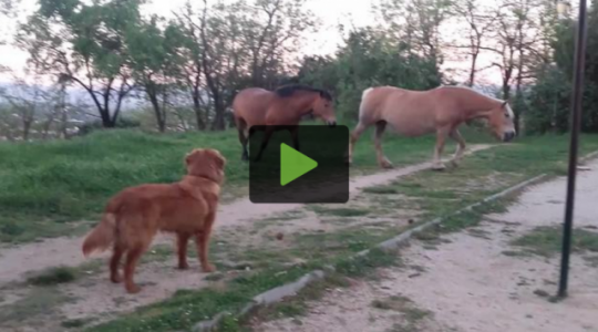 A Dog Is Introduced to a Pair of Horses