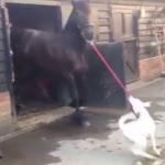 Dalmatian Puppy Enthusiastically Takes Horse for Walk