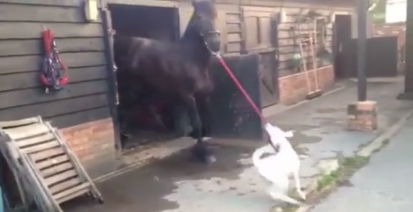 Dalmatian Puppy Enthusiastically Takes Horse for Walk
