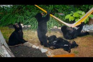 Family-Of-Bears-Bond-Over-A-Hammock