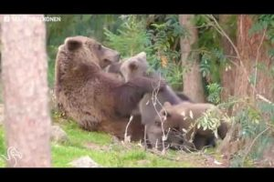 Mother-Bear-Knows-Just-How-To-Get-Her-Kids-Down-From-This-Tree