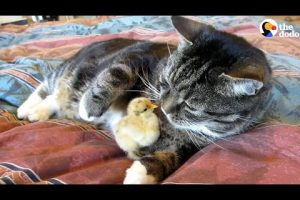 These-Little-Chicks-Like-Snuggling-With-Their-Favorite-Cats