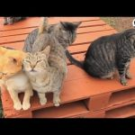 500 Rescue Cats All Live Together On This Island
