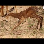 Baby Impala Takes His First Steps