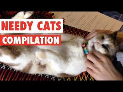Needy-Cats-Video-Compilation-2016