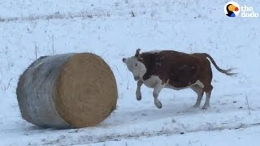 Cow-Loves-Rolling-His-Bail-Of-Hay