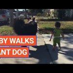 Cute Baby Walks Giant Dog