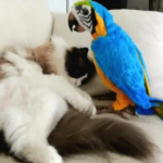"Ragdoll Cat Meets A ""Parrot"" for the First Time"
