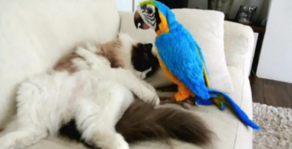 """Ragdoll Cat Meets A """"Parrot"""" for the First Time"""
