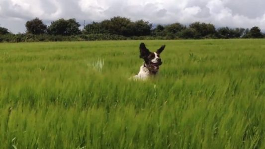 Dogs-Bouncing-in-Wheat-Compilation-CFS