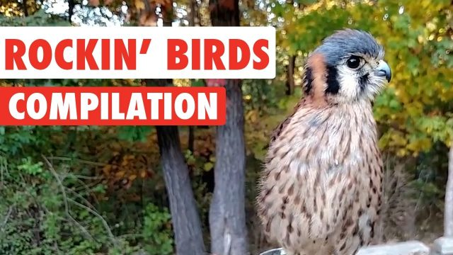 rockin birds video compilation 1funny
