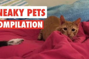 Sneaky-Pets-Video-Compilation-2017