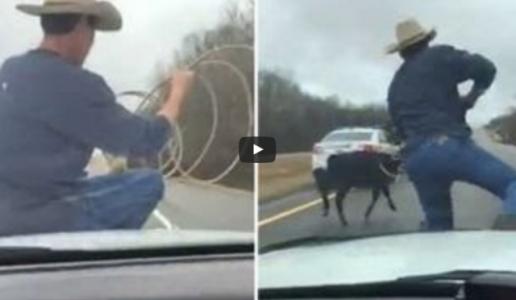 Cowboy Lassos Escaped Calf from Hood of Cop Cruiser