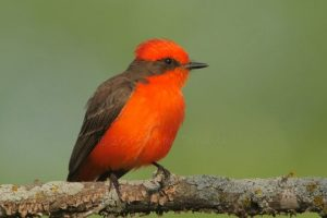 2016-05-Vermilion-Flycatcher-pair-builds-a-very-special-nest-watch-in-4K