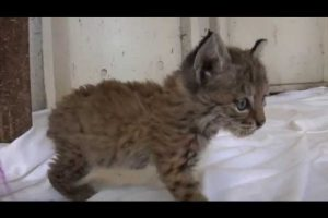 Chips-the-Baby-Bobcat