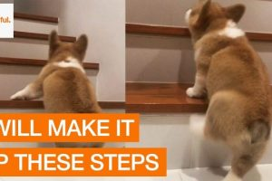 Corgi-First-Attempt-Climbing-the-Stairs
