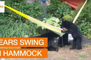 Family-of-Bears-Invade-Garden-and-Play-With-Hammock-Storyful-Crazy