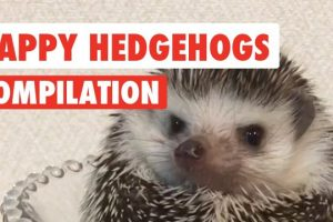 Happy-Hedgehogs-Cute-Pet-Video-Compilation-2017