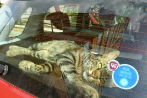 Lonely-Street-Cat-Breaks-Into-Car-To-Find-A-Loving-Home