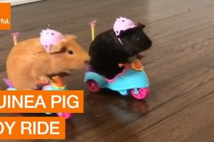 Pair-of-Adorable-Guinea-Pigs-Go-for-Joyride