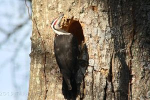 Timelapse-of-a-Pileated-Woodpecker-creating-a-cavity