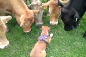 BOXER-PUPPY-GREETED-BY-HERD-OF-COWS-ON-WALK-AMAZING-TO-SEE