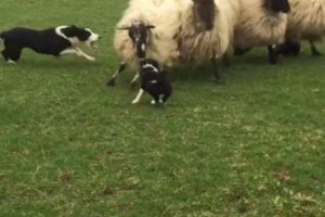 Brave-Sheep-Dogs-First-Day-On-Job