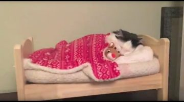 Cat-Puts-Herself-to-Sleep-in-Tiny-Human-Bed