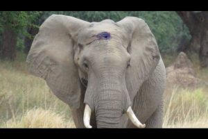 Elephant-Calmly-Asks-For-Help-After-Living-With-Infected-Bullet-Lodged-In-Skull