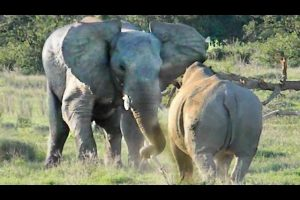 Elephant-Shows-Rhino-Whos-Boss