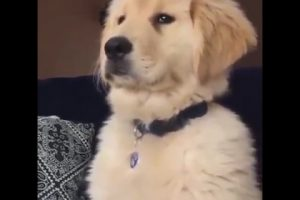 Funniest-Golden-Retriever-Videos-2017-6