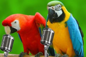 Funny-Parrots-Singing-Compilation-BEST-FUNNY-ANIMAL-COMPILATION