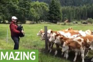 Grazing-cows-rush-to-listen-to-accordion-music