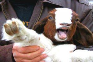 Top-10-Talking-Goats
