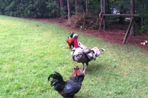 Turkey-Police-stops-rooster-fight