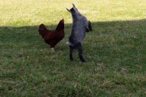 When-Rooster-Met-Goat